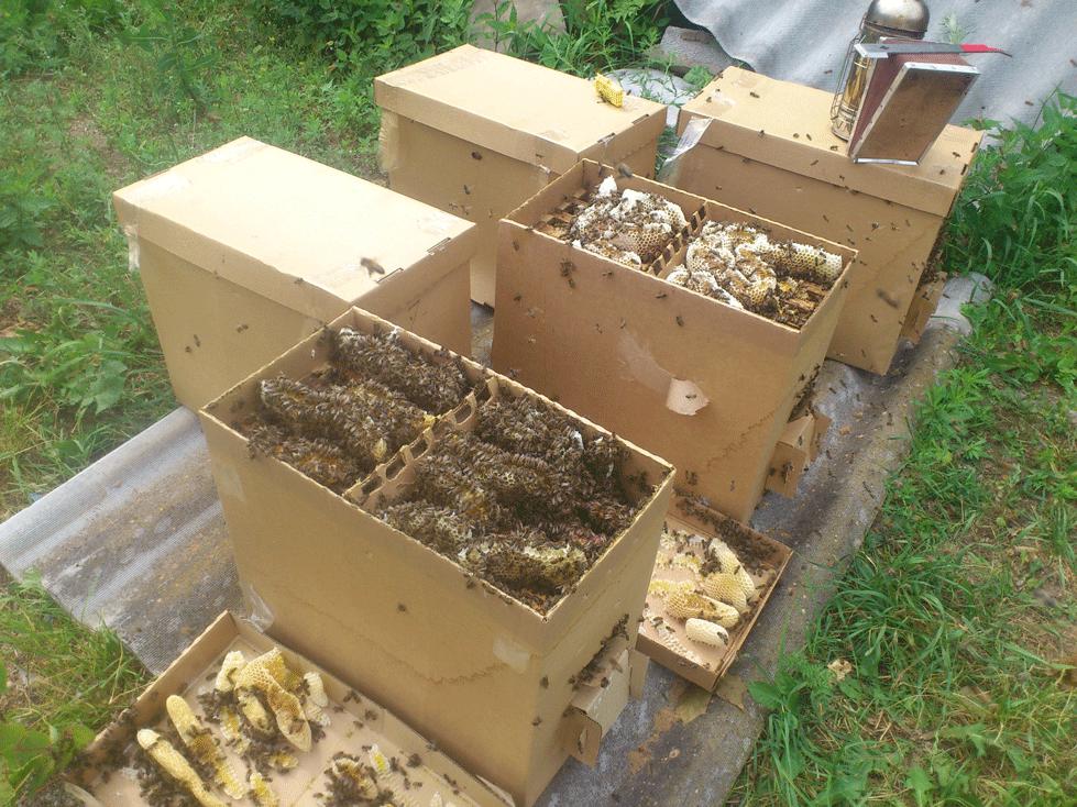 Пчелопакеты Бакфаст и Карника через неделю после формирования