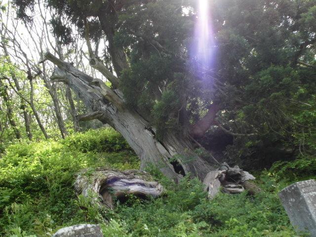 樹齢千年の「たこ杉」