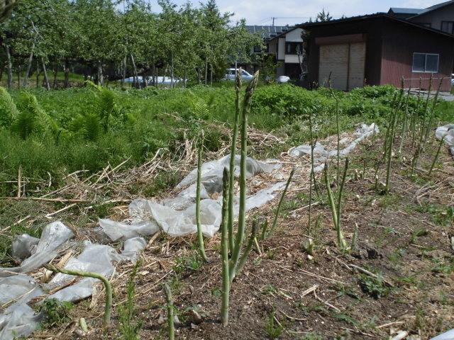 アスパラガス収穫