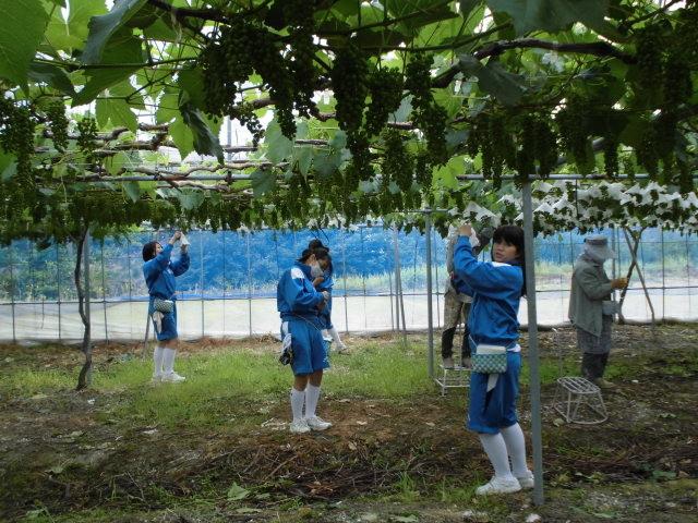 ブドウ園で農作業(ブドウのかさかけ)