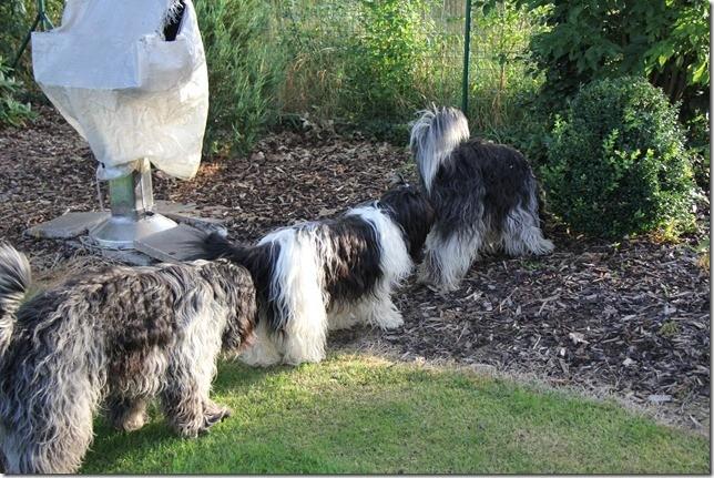 Unsere Hunde machen eine Bolonaise