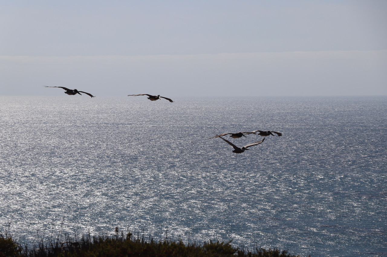 Majestic Pelicans soaring down south for the winter