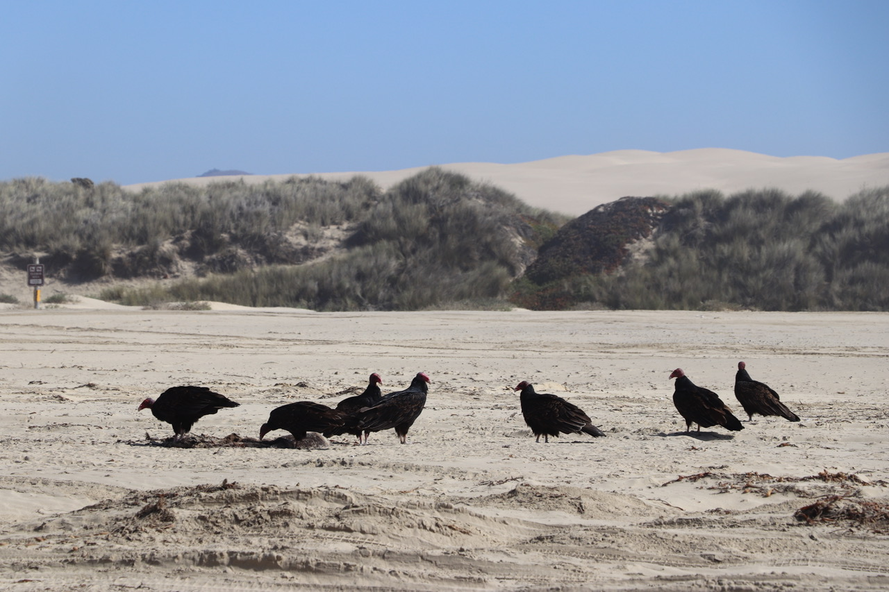 ...vultures found something on the beach!
