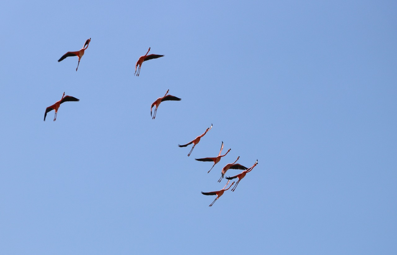 The Flamingos are amazing to watch in flight