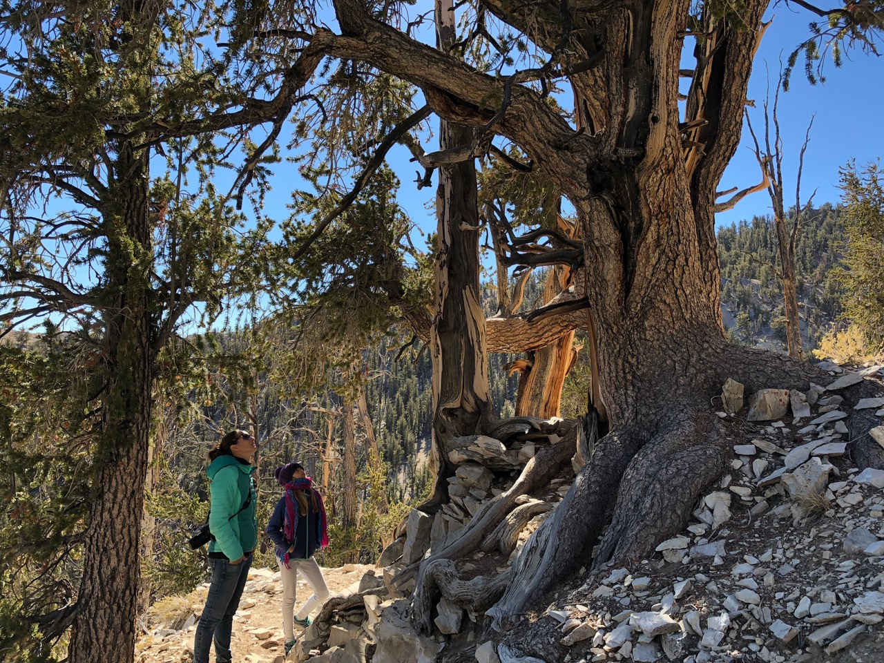 We walked through Bristlecone Forest on the Methuselah Trail