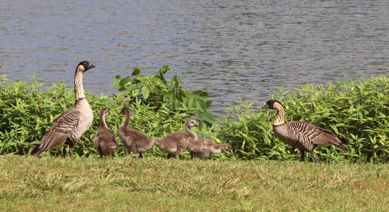 Nene Geese Family