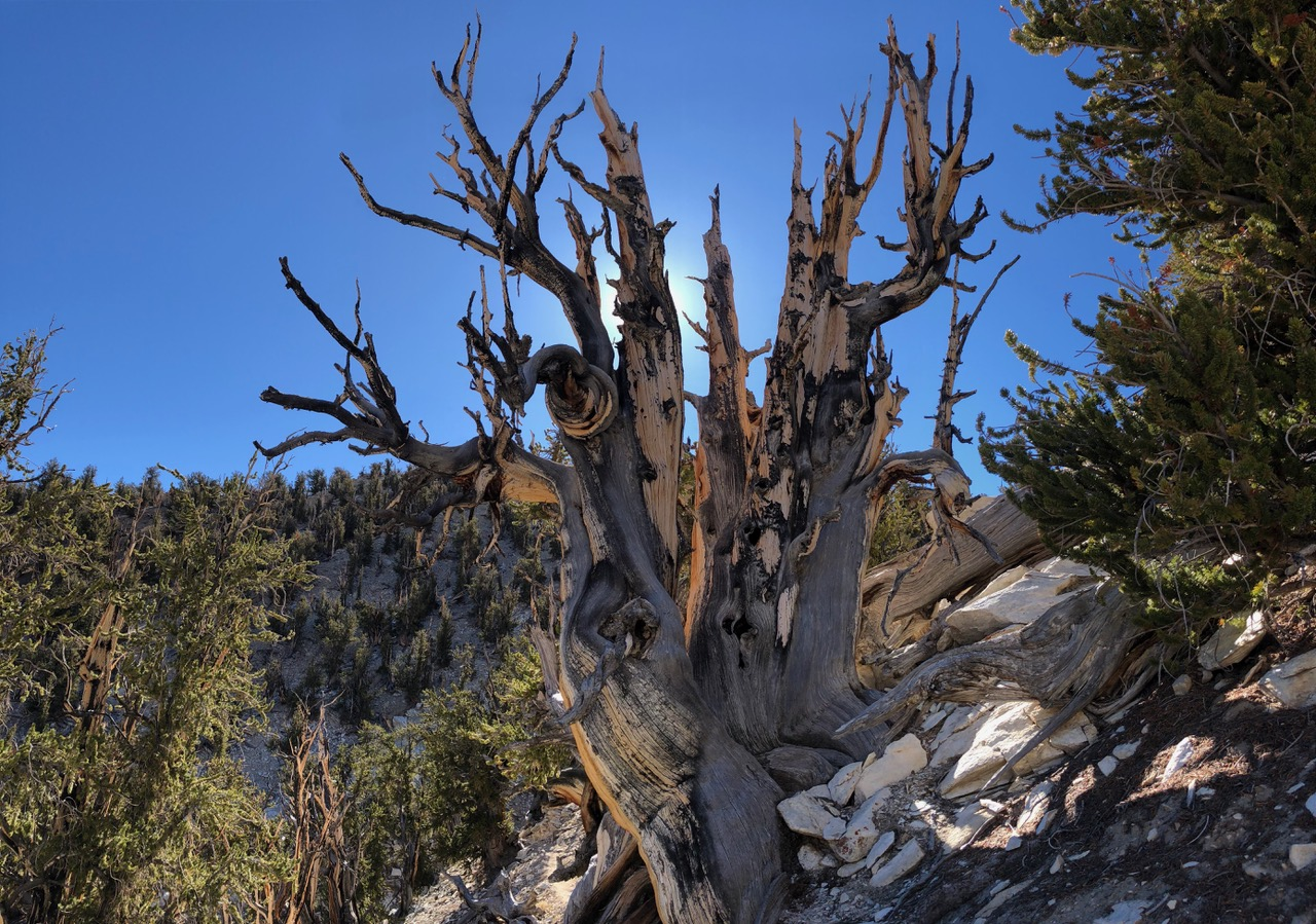 A lot of trees in Bristlecone Forest look as if they were decaying, but if you look carefully you'll see green branches growing out of the old stump