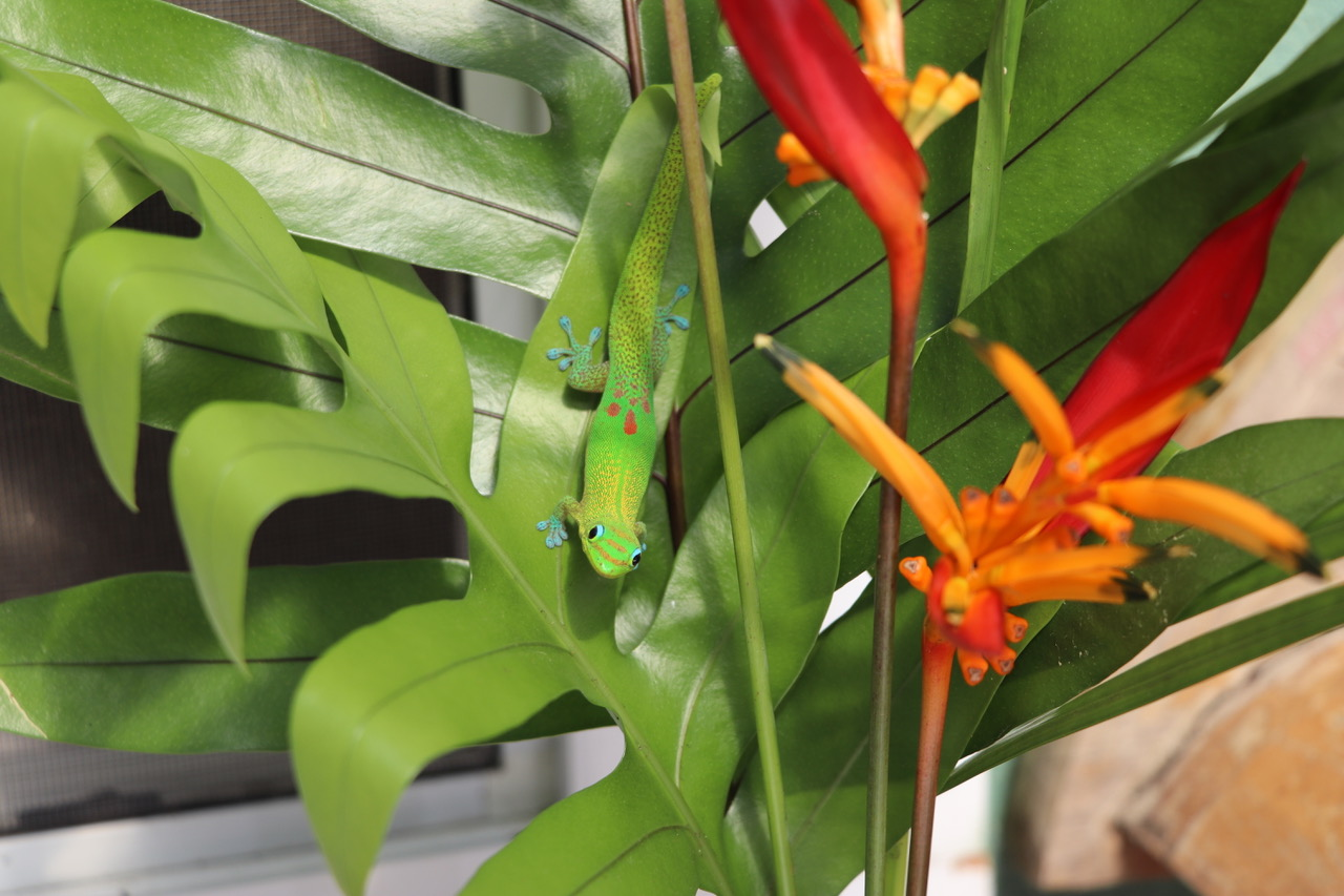 This geko is one of many around our Studio in Kona