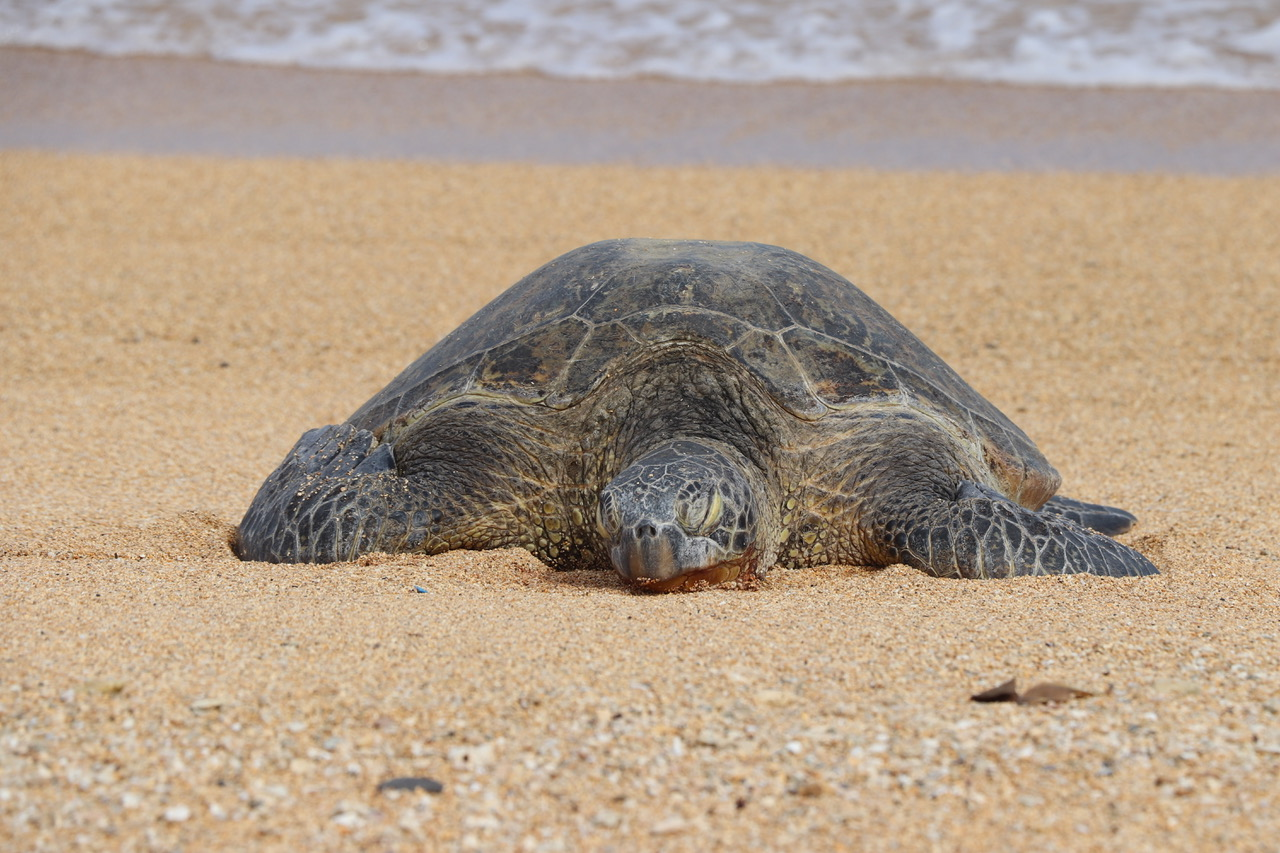 ...and a Green Turtle on Larson Beach