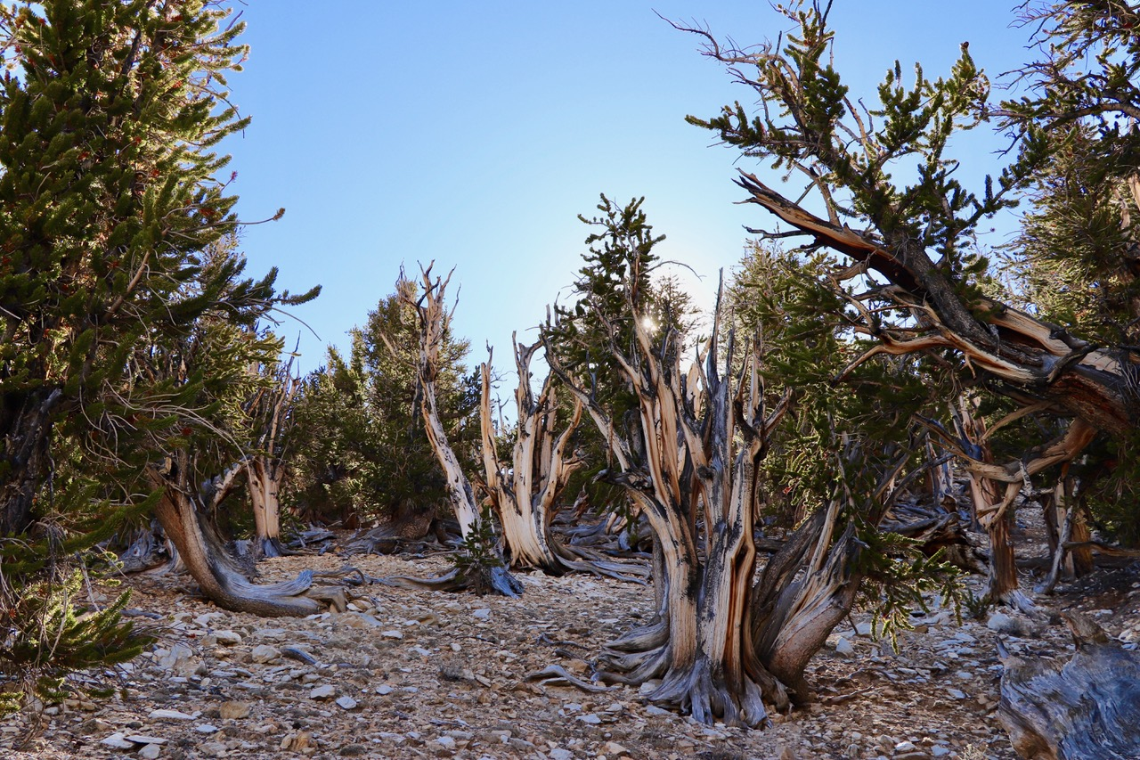 ...the Bristlecone trees prefer the north facing slope