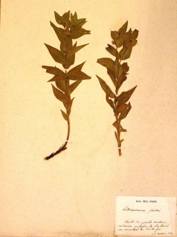 Planche d'herbier du Museum de Paris