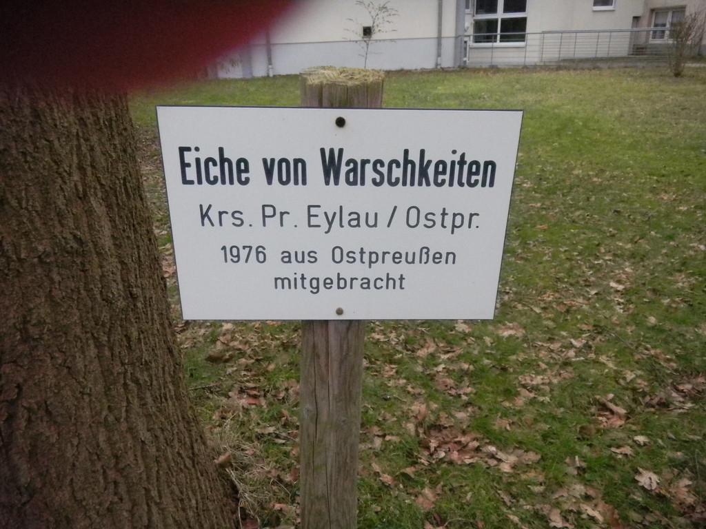 """Eiche von Warschkeiten vor dem """"Ostheim"""""""