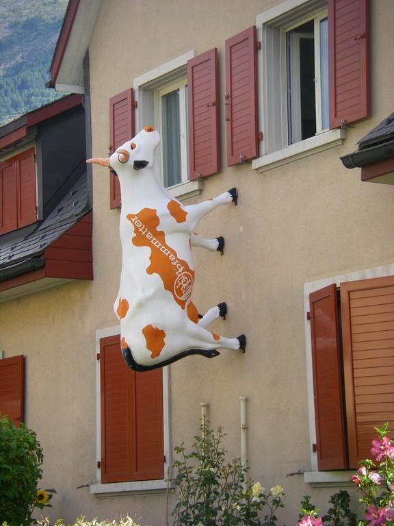 Les vaches suisses sont trop fortes !