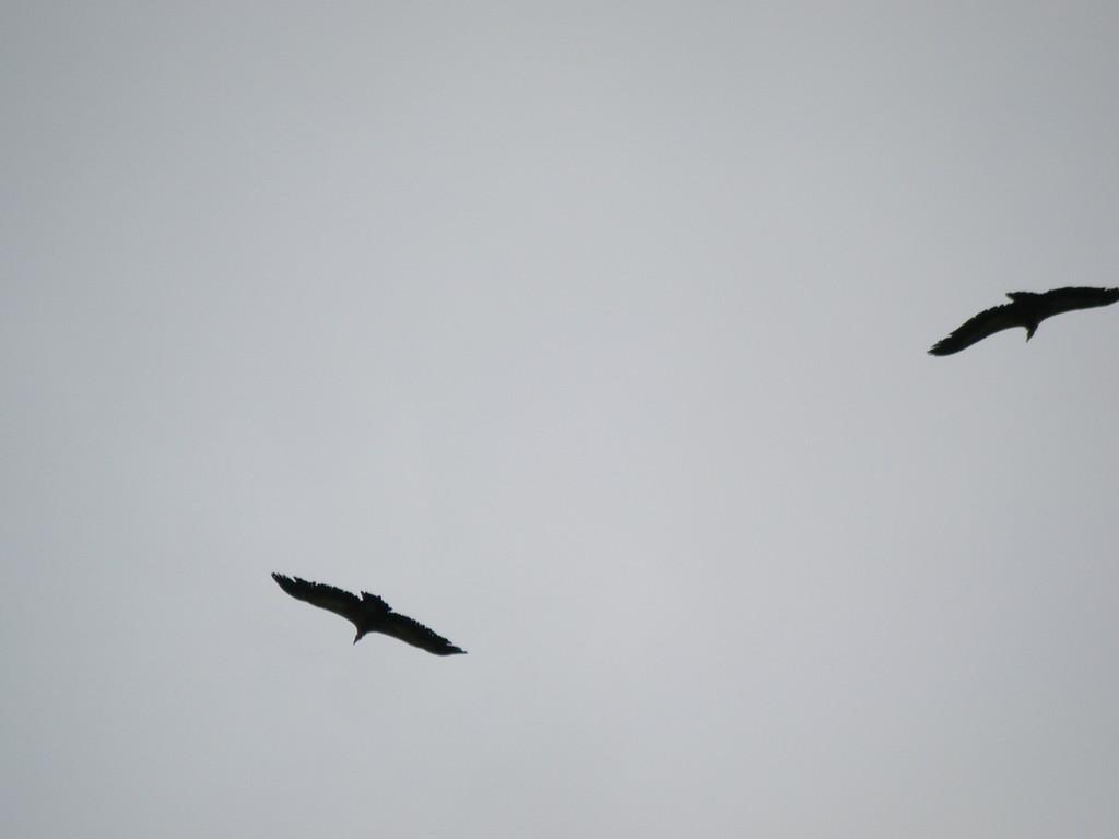 Deux vautours.
