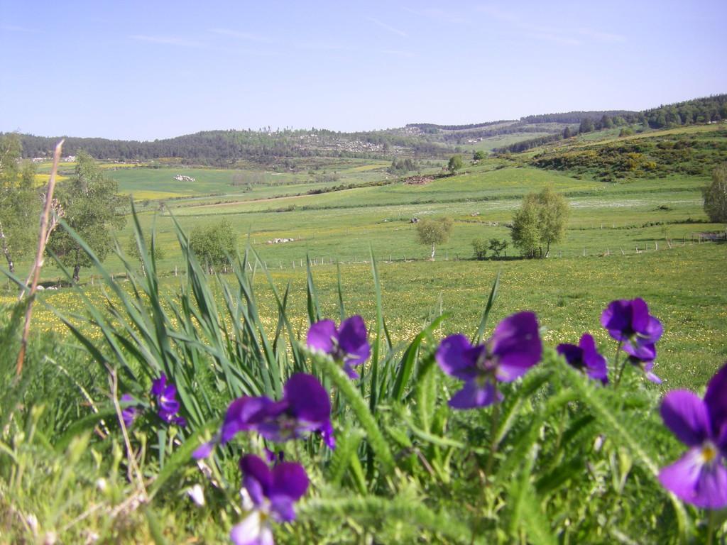 La violette lutea qu'on ne trouve qu'ici ... en très grande quantité !