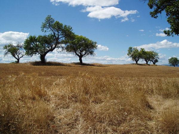 Sur le plateau de Valensole.