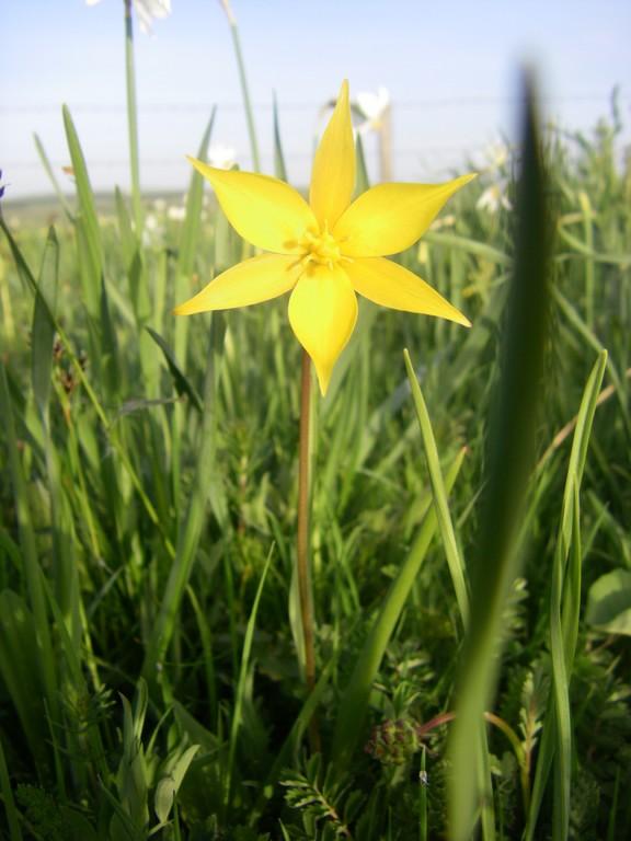 Une tulipe de Celse
