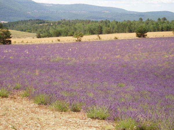 Du violet, du violet, du violet, ne manquent que les odeurs !!