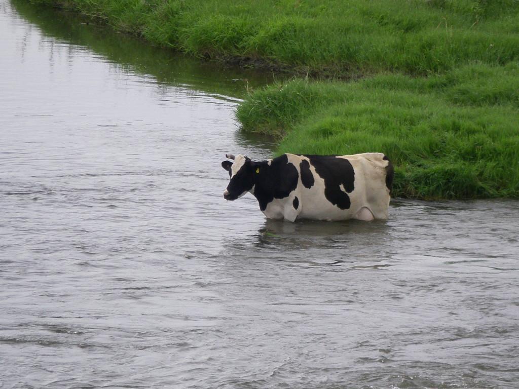 Une vache ... aquatique à Svilengrad.
