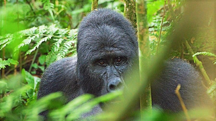 Kilimanjaro and Mountain Gorillas