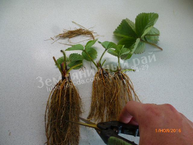 Подрезание корневой