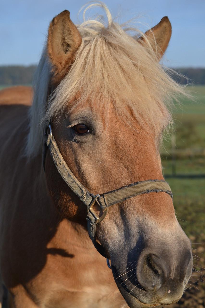 Bob, bester Haflinger!- Garant das auch die Ausbildungsskala für Ponys gilt!!! Einsatzgebiet: Volti, Bodenarbeit, Handarbeit, Sitzkorrektur