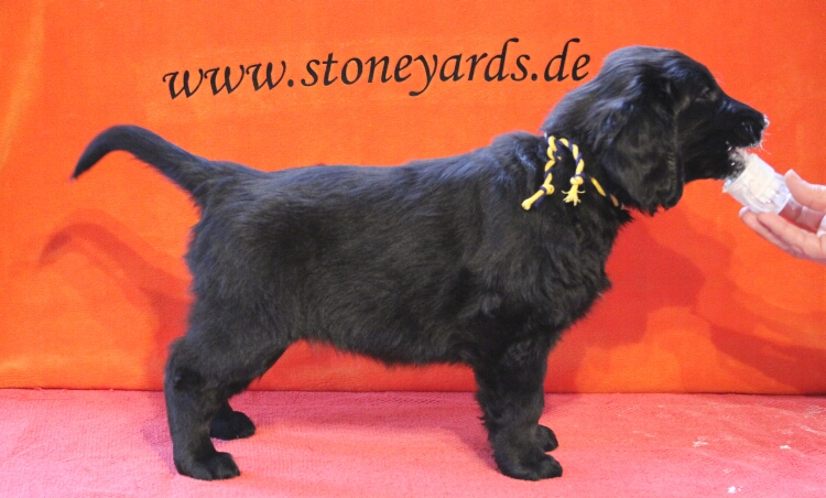 Miss Sweden, 7 weeks (Tian X Stoneyard's Dark Velvet - Quick Step)