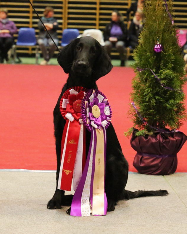 Twilight Star's All That Matters (Miles x Twilight Star's Telling Stories) Best Puppy Of Breed at his first show!
