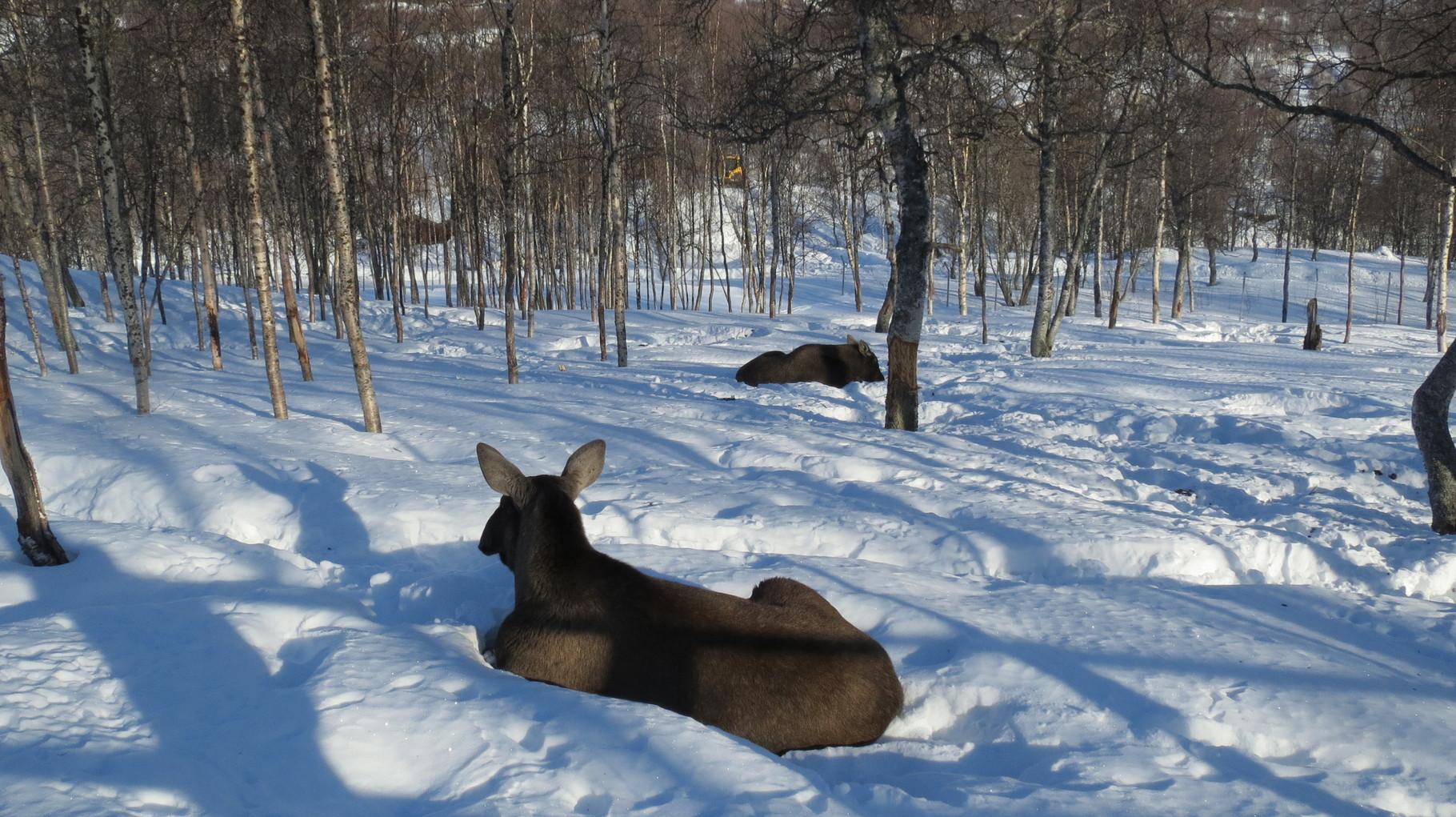 ... die Elche dagegen lagen eher gelangweilt im Schnee herum.