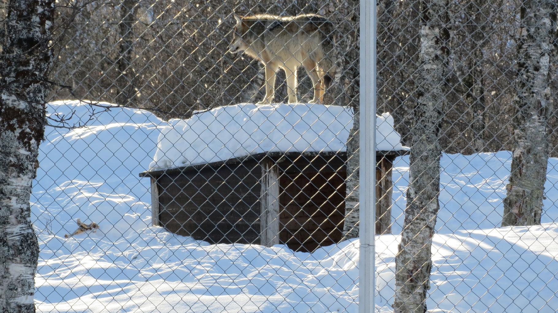 Wer die Bilder vom Husky Camp gesehen hat, sieht hier, dass auch schon Wölfe gerne auf ihren Hütten gestanden haben.