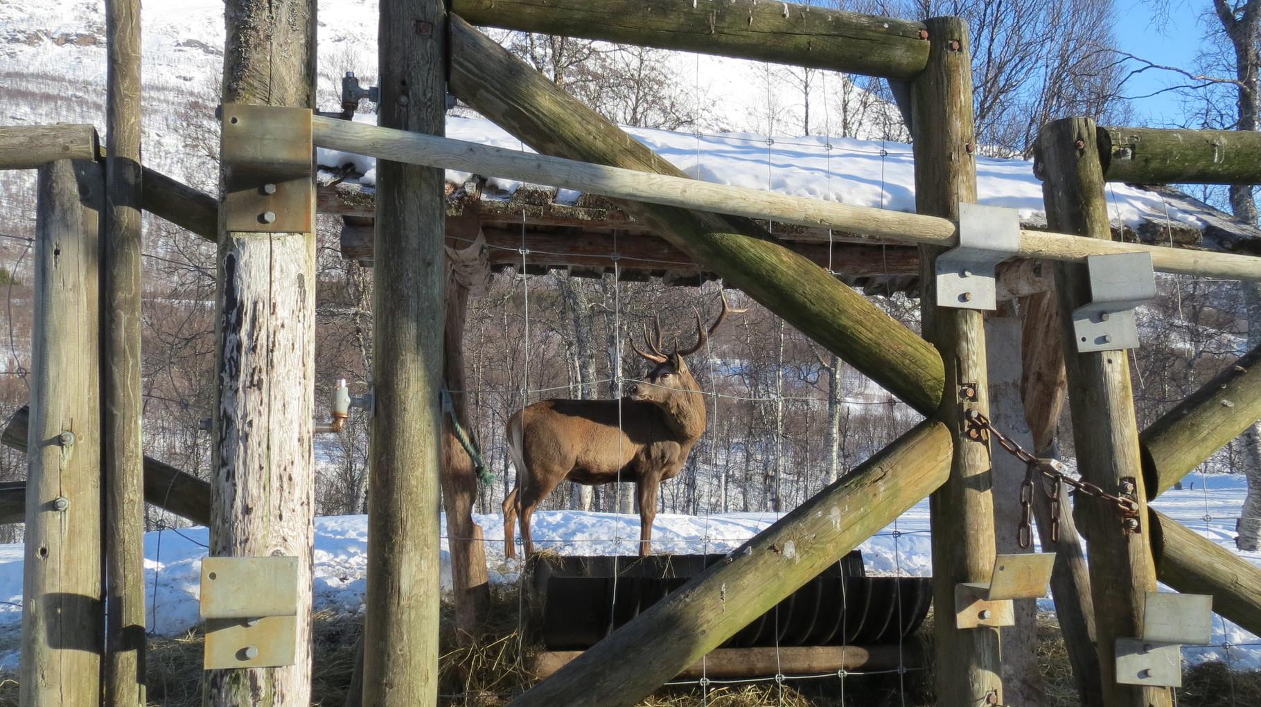 Der kapitale Hirsch war mächtig in Frühjahrs-Rauflaune, deshalb konnten wir nicht näher ran ...