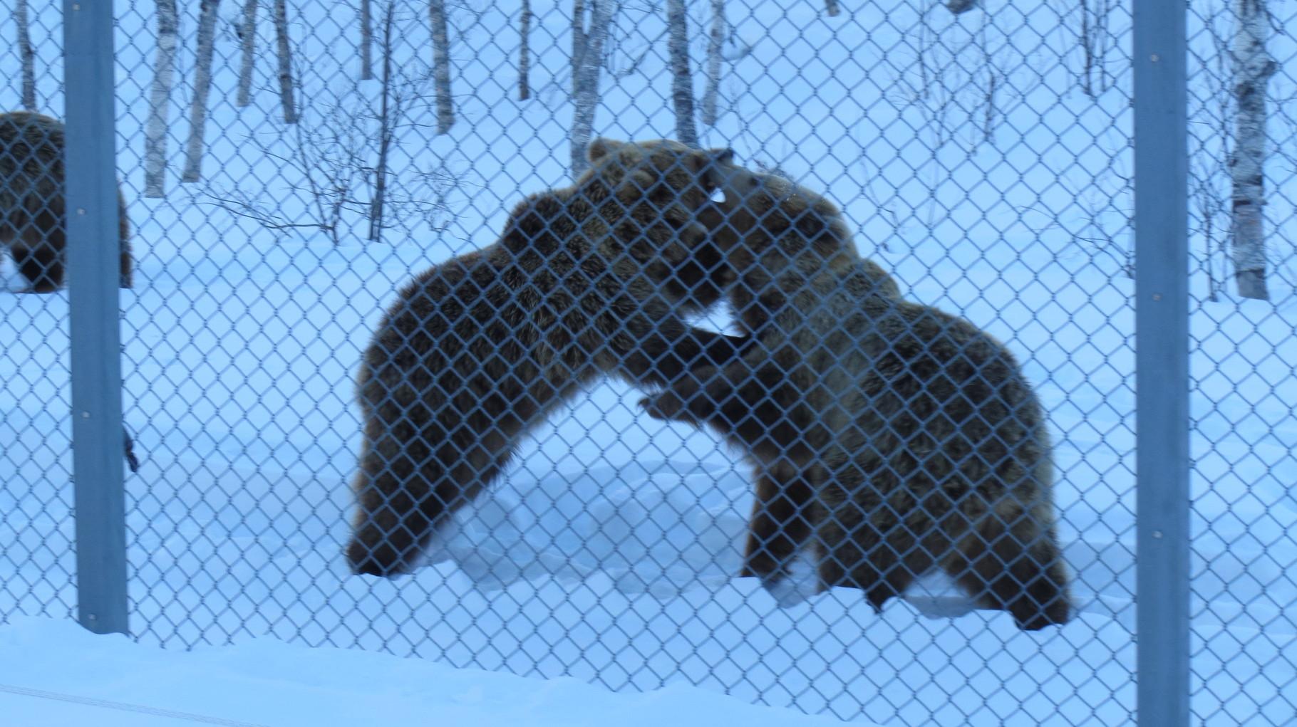 Gerade aus dem Winterschlaf aufgewacht und quietschfiedel, balgen sich die Jungbären untereinander ...