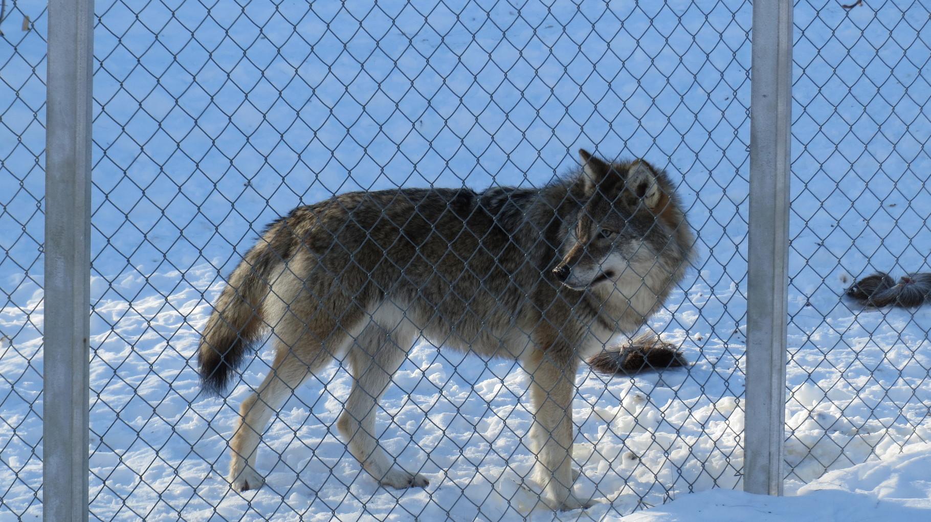 Die Wölfe waren dagegen schon etwas aktiver ...