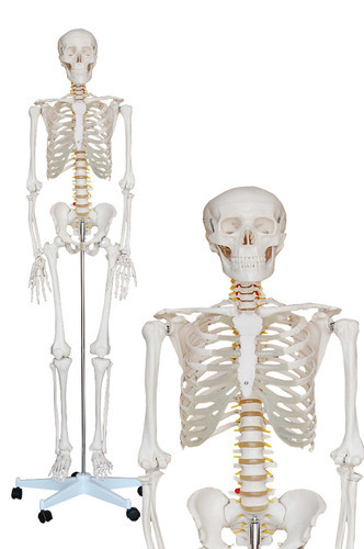 Squelette Humain 181 cm