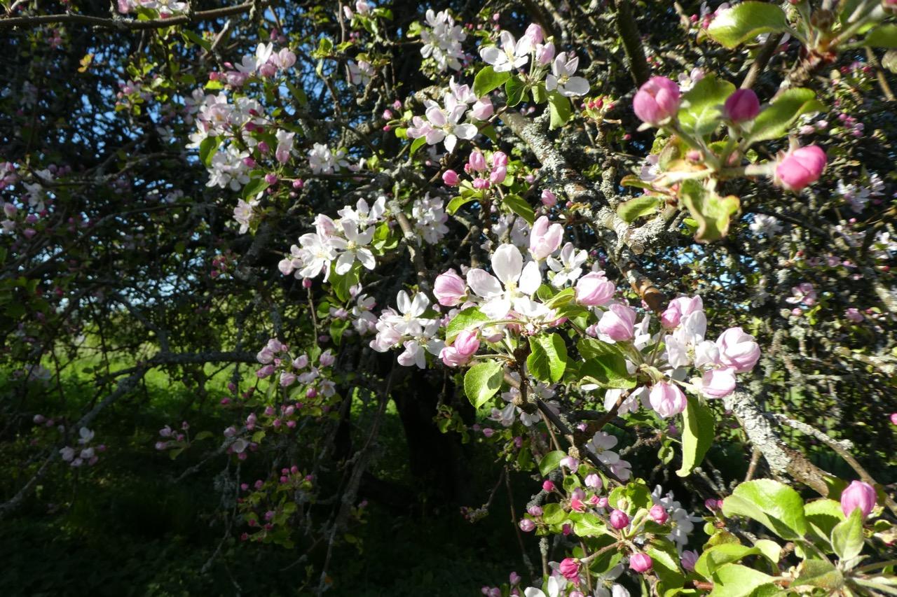 Arholma Apfelblühten