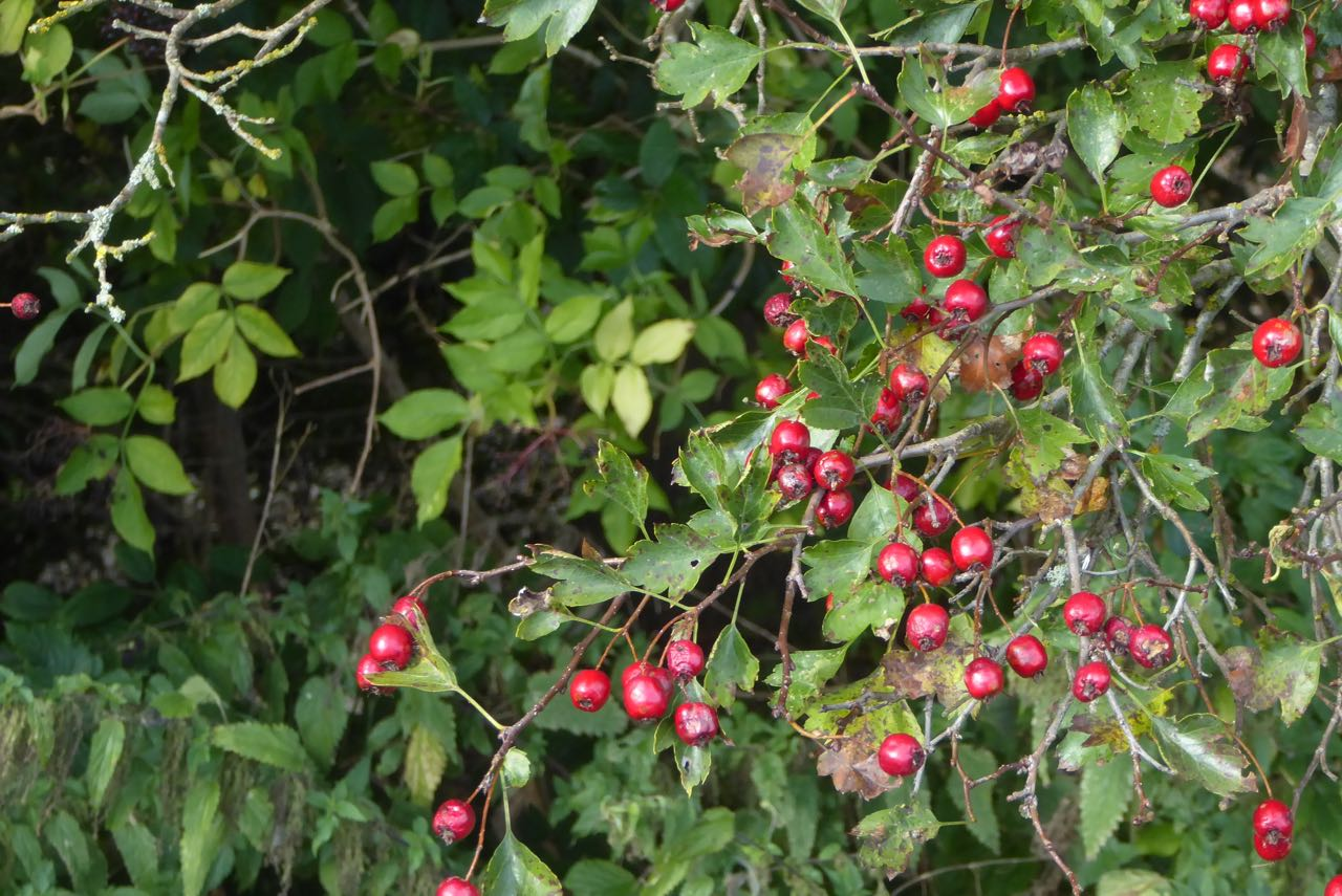 Ochseninsel rote Beeren