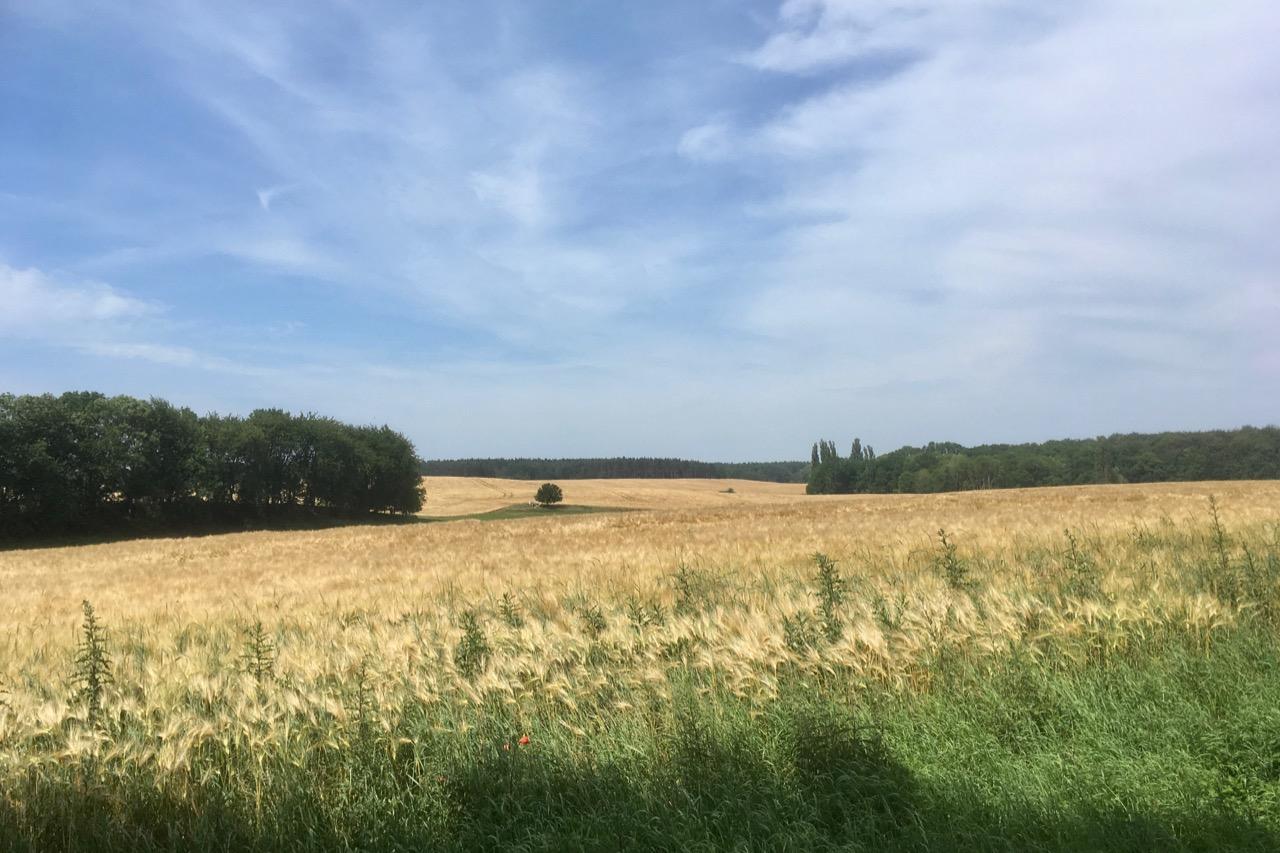 Rügen Weizenfeld