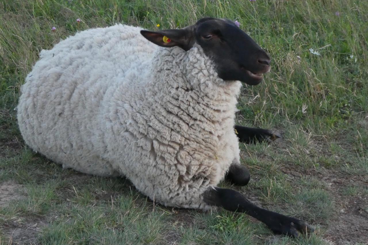 Gager Schaf