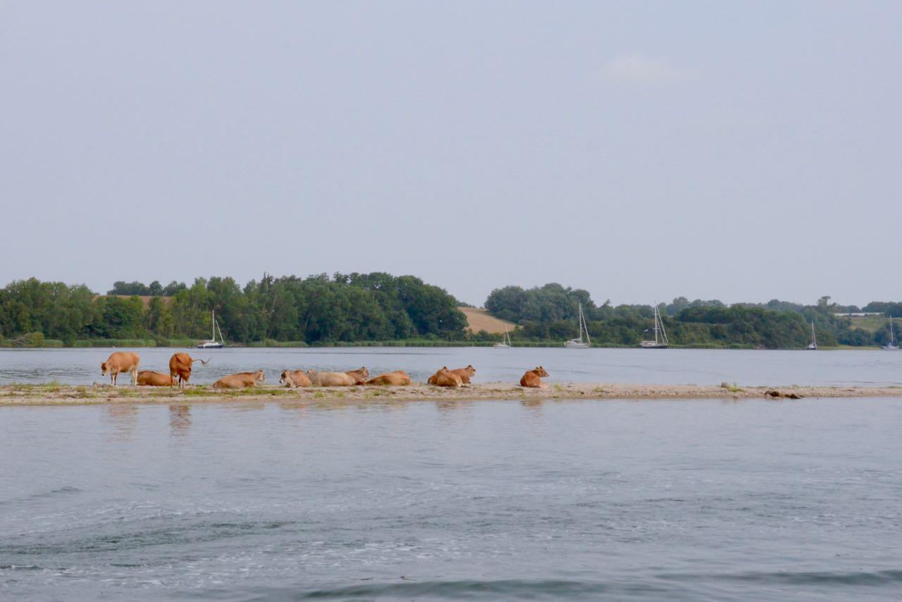 Dyvig Landzunge mit Kühen