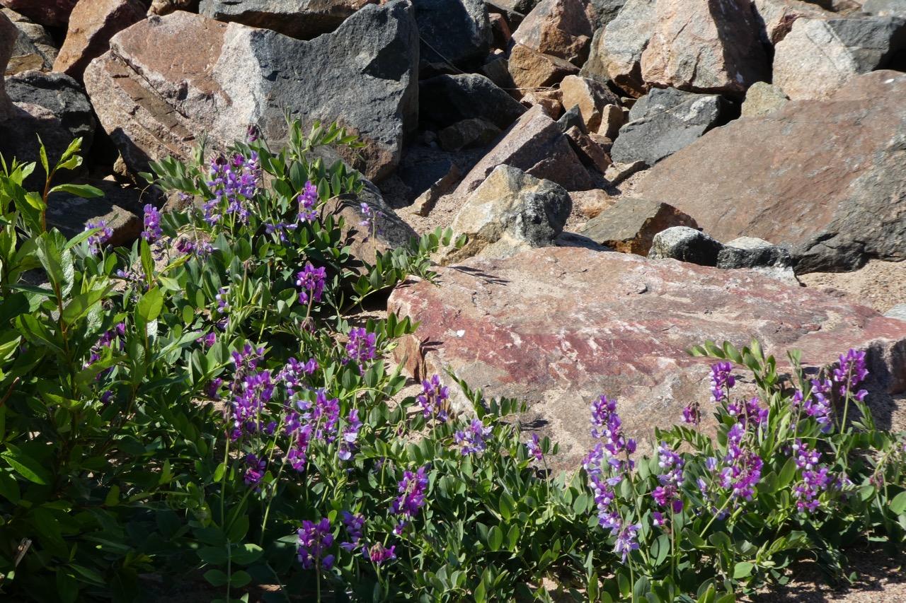 Liggskär Sandstrand Blumen