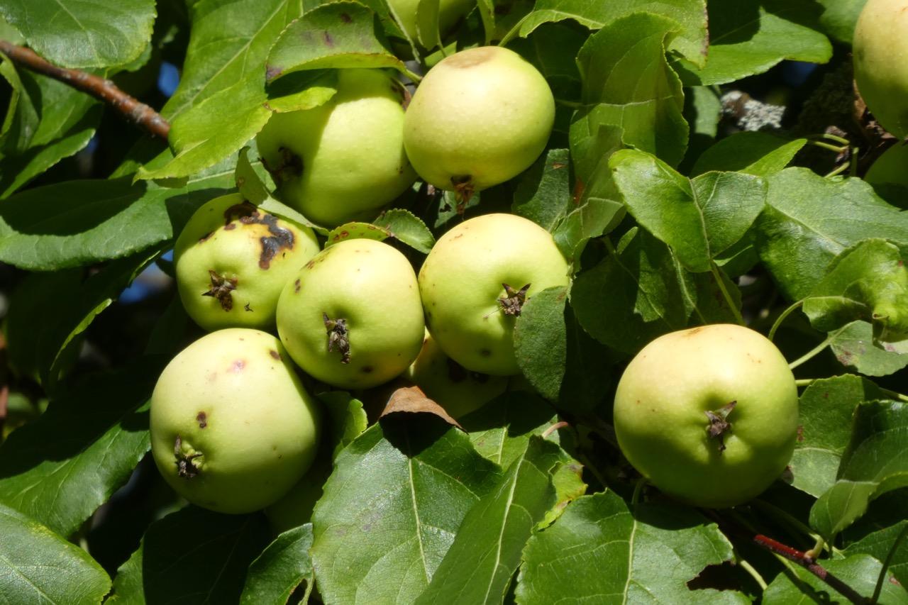 Birka Äpfel