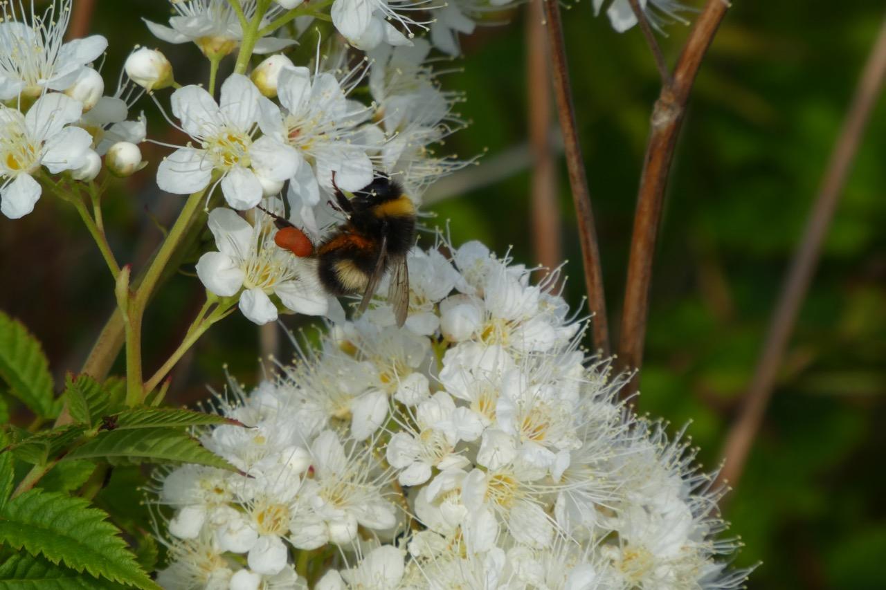 Furuögrund Blumen und Biene