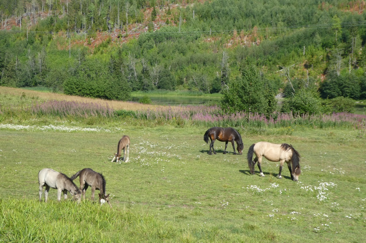 Höga Kusten Pferde