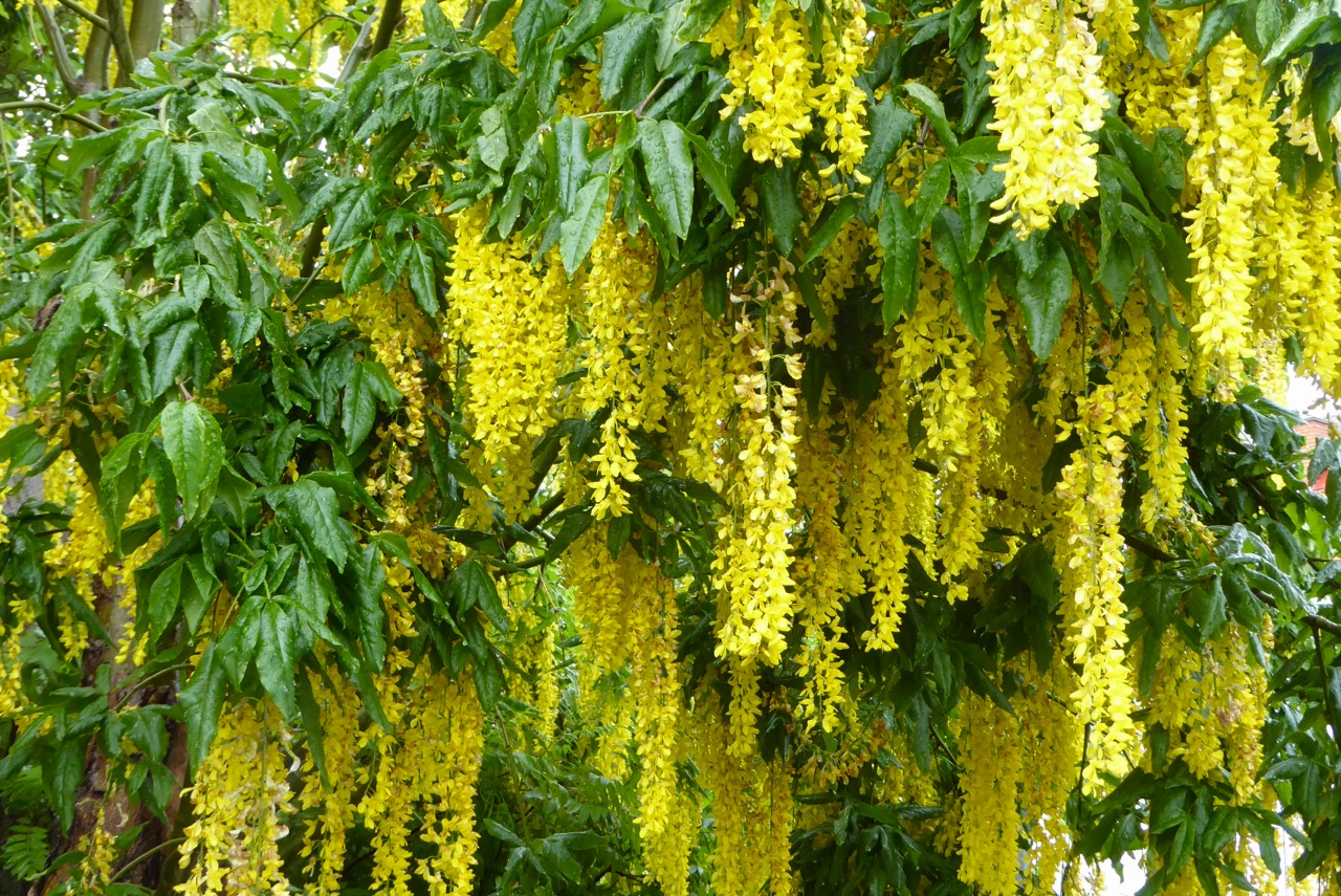Lysekil Blüten