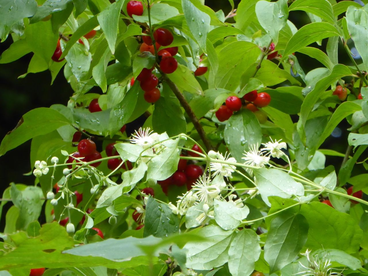Haithabu Früchte
