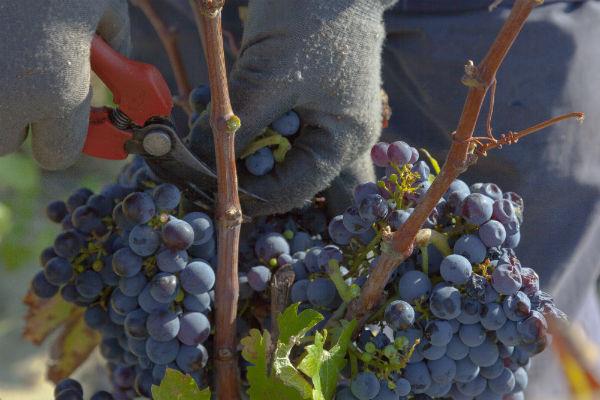 Druiven knippen in het Rhônedal