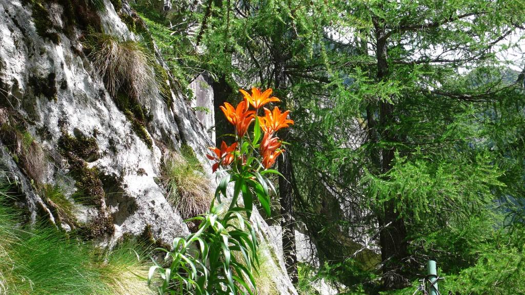nochmals Feuerlilie