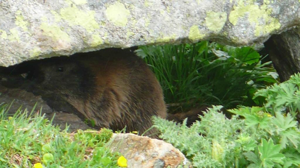 Ein Murmeltier sucht Schutz unter einer Steinplatte
