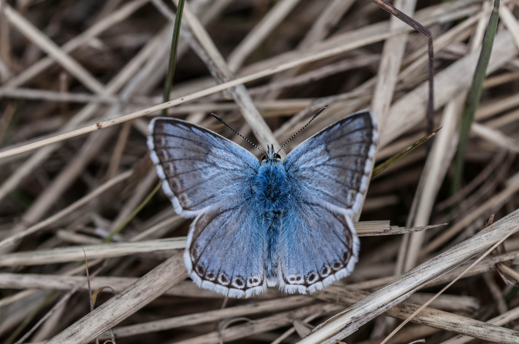 Silbergrüner_Bläling_Polyommatus_coridon