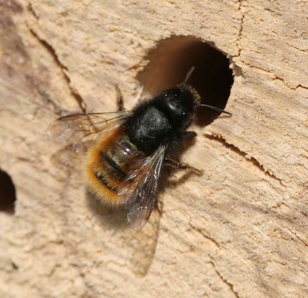 Gehörnte Mauerbiene Weibchen - Osmia cornuta - Bastian